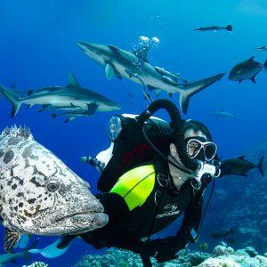 Potato Cod and scuba diver