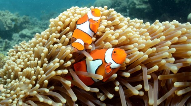 Clownfish Great Barrier Reef Whitsunday Islands Australia Liveaboard